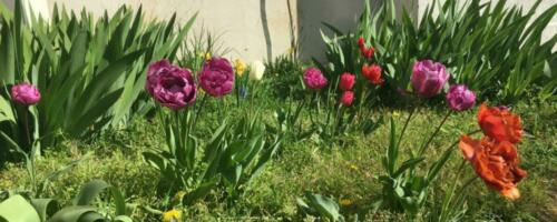 cropped-tulipes.jpg